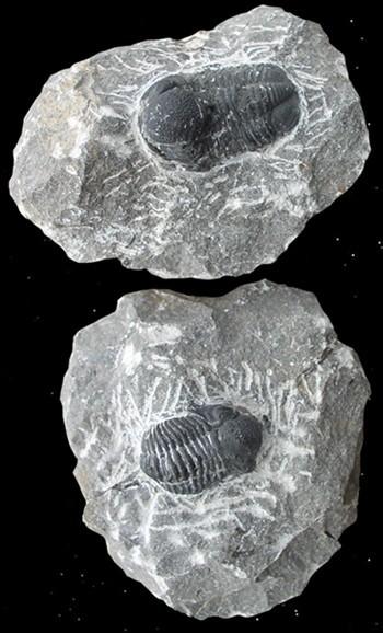 Trilobit auf Mutter-Gestein, versteinertes Fossil Millionen Jahre alt