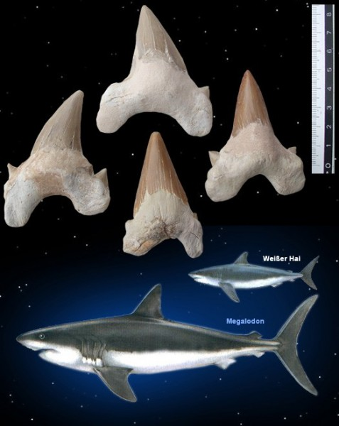 Megalodon Versteinerter Haifischzahn (ca. 50 mm)